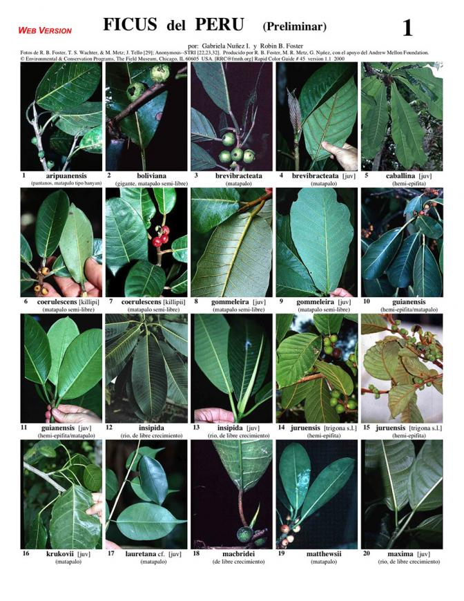 Ficus [Figs] of Peru - common species