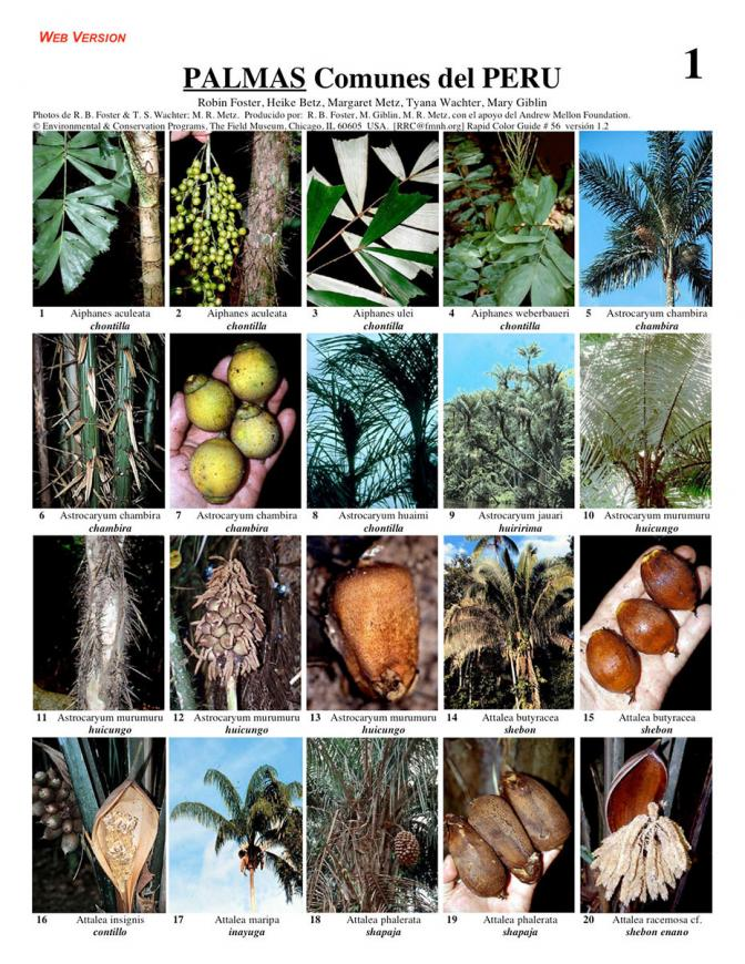 Palmas [Palms] of Peru - common species