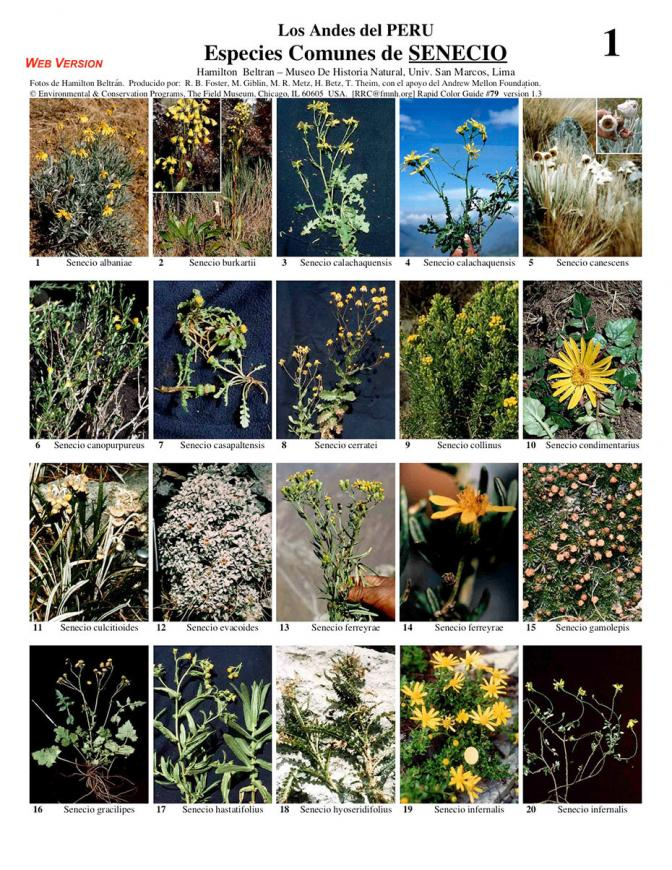 Senecio of Peru - common species