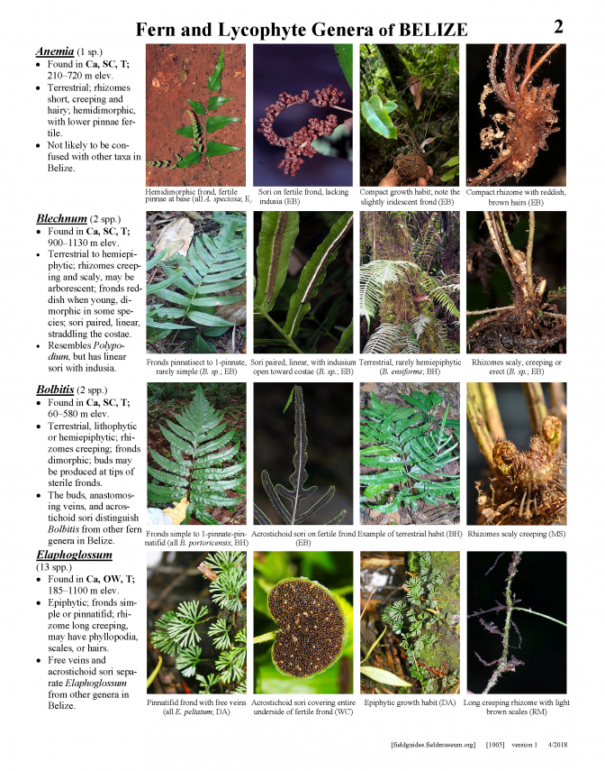 1005_belize_epiphytic_and_lithophytic_fern.pdf