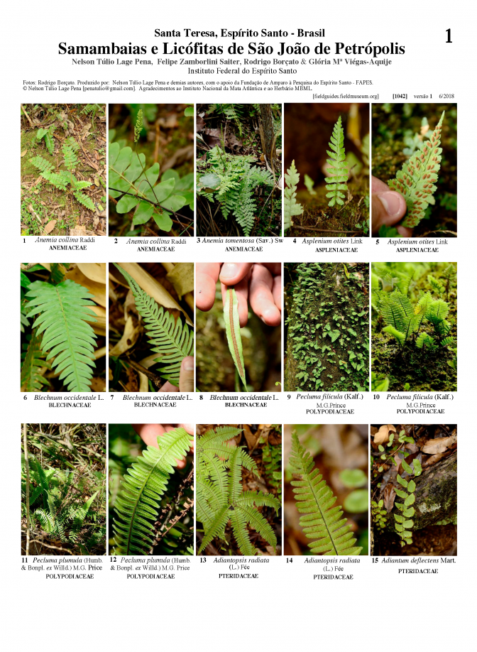 1042_ferns_and_lichophytes_of_sao_joao_de_petropolis.pdf