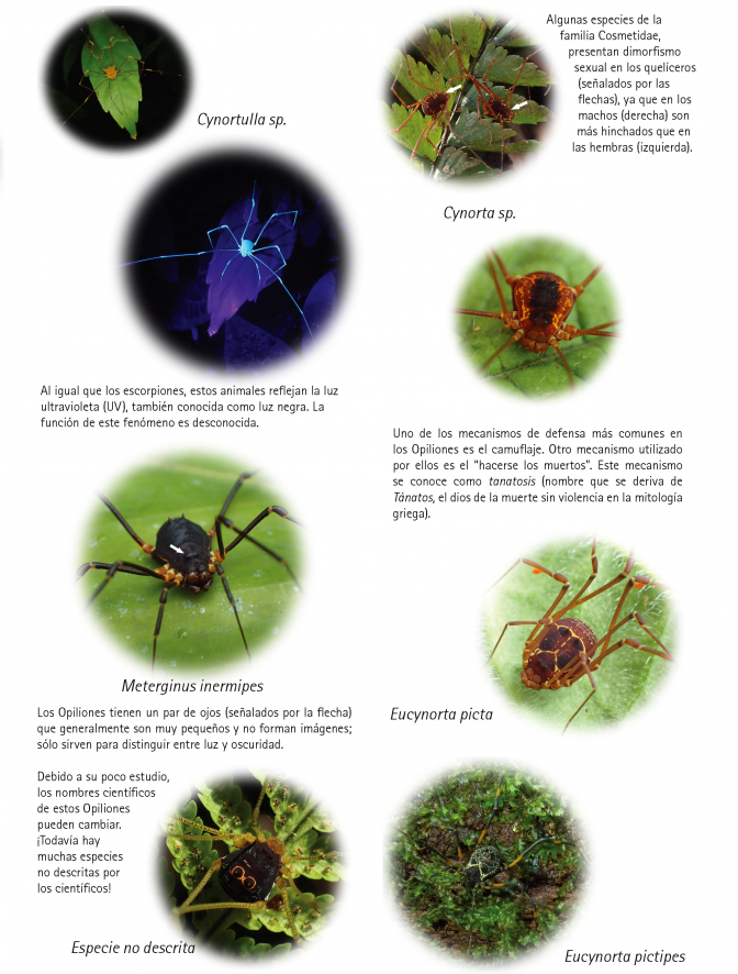 1109_costa_rica_opiliones_from_veragua_rainforest.pdf