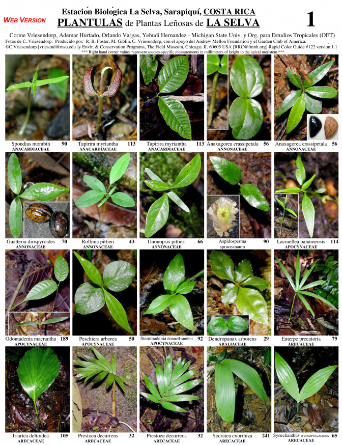 Heredia -- Sarapiquí, Seedlings of Woody Plants of La Selva