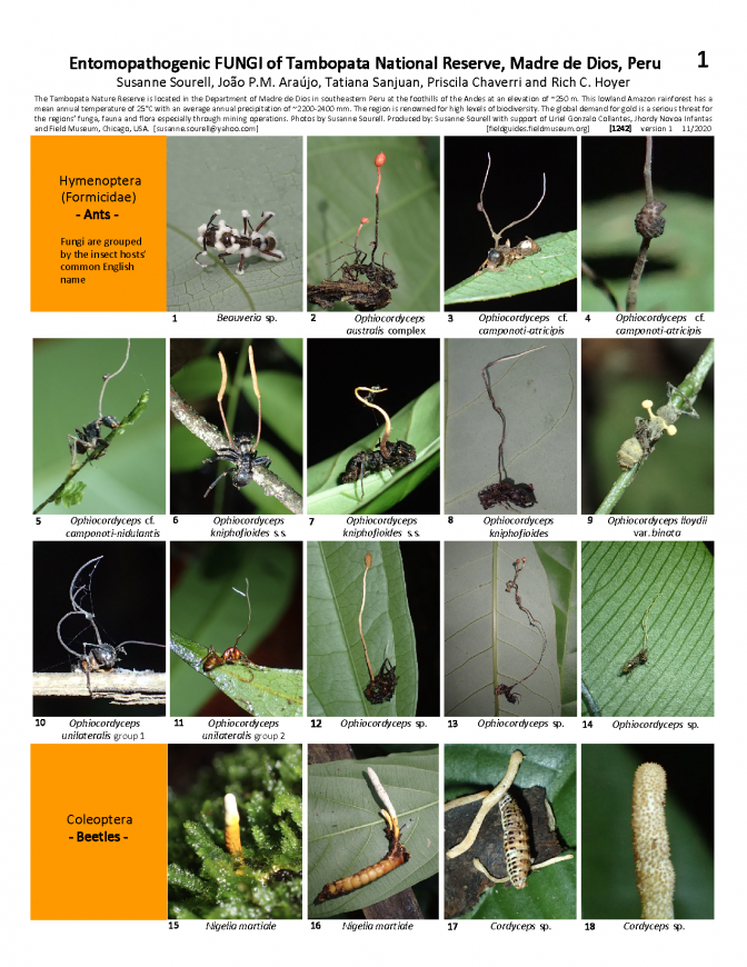 1242_peru_entomopathogenic_fungi_of_tambopata.pdf