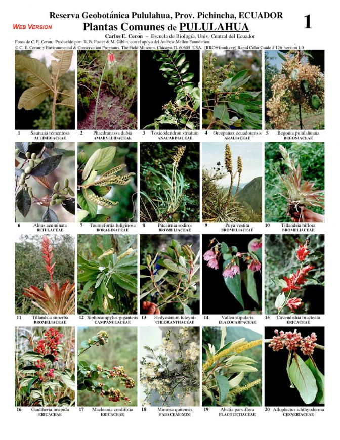 Pichincha common plants of pululahua field guides Nombres de plantas comunes
