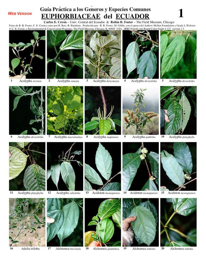 Euphorbiaceae of Ecuador - common genera