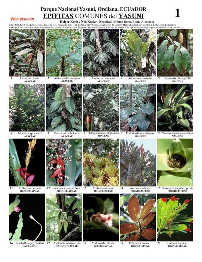 Orellana -- Common Epiphytes of Yasuní