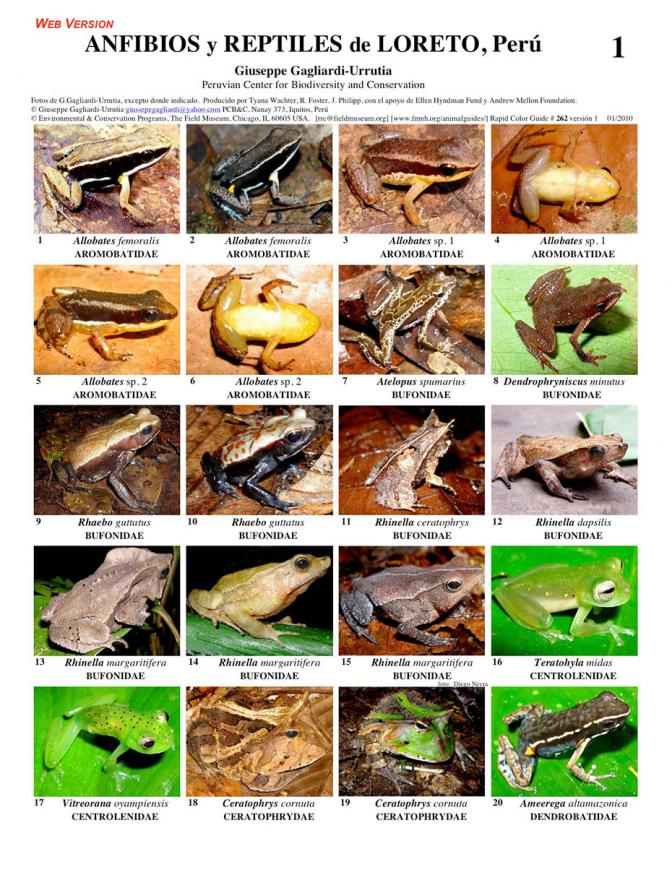 Loreto -- Amphibians and Reptiles