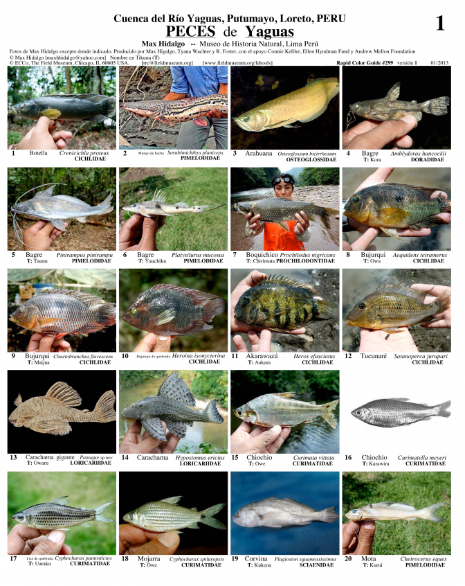 Loreto --  Yaguas River - Fishes