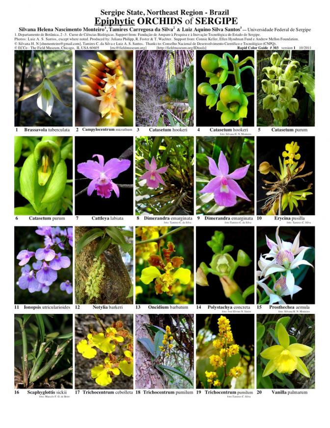 Sergipe -- Epiphytic Orchids