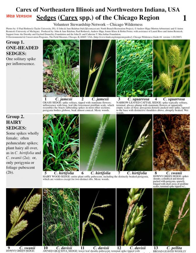 Sedges (Carex) of the Chicago Region