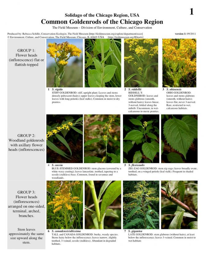 Common Goldenrods of the Chicago Region