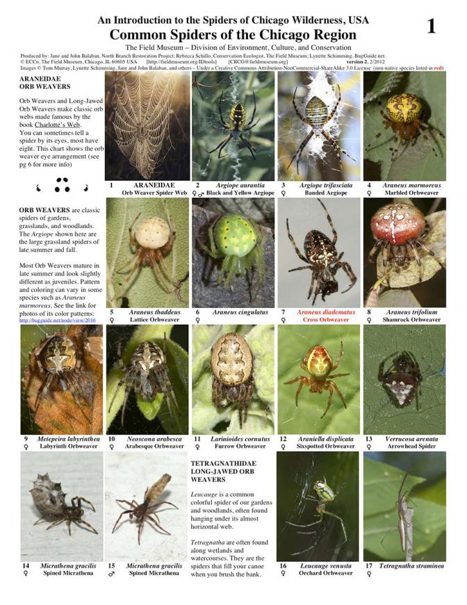 Common Spiders Of The Chicago Region