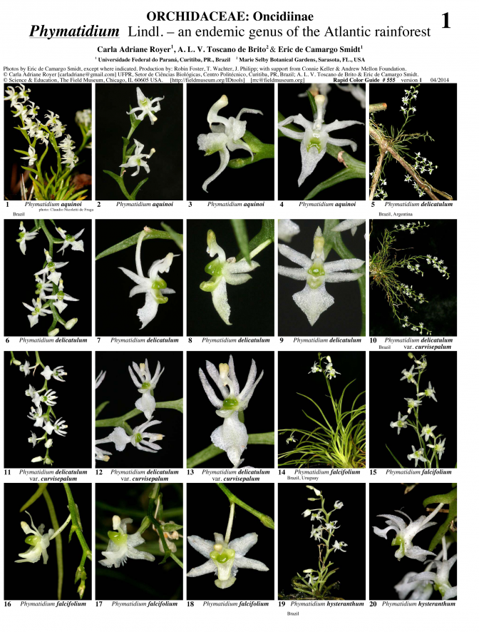 Mata Atlântica -- The genus Phymatidium (Orchidaceae)