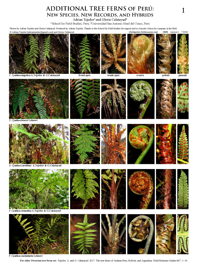 569_peru_additional_tree_ferns_of_peru.pdf