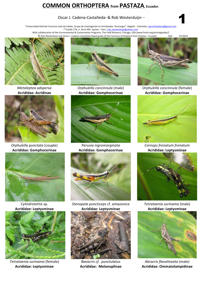 Pastaza -- Common Orthoptera
