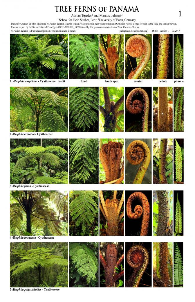 845_panama_tree_ferns_.pdf