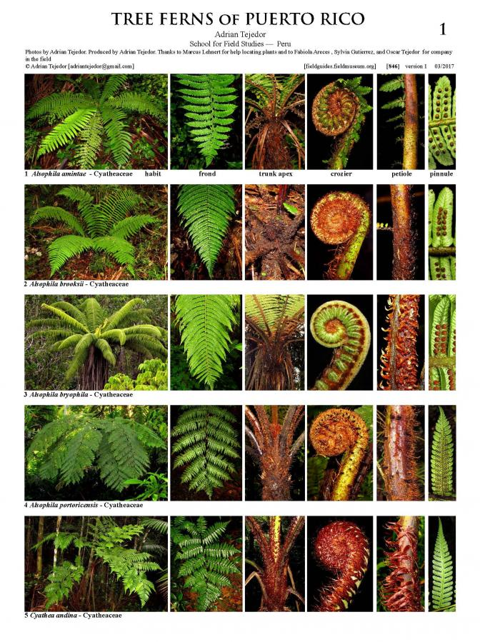 846_puerto_rico_tree_ferns.pdf
