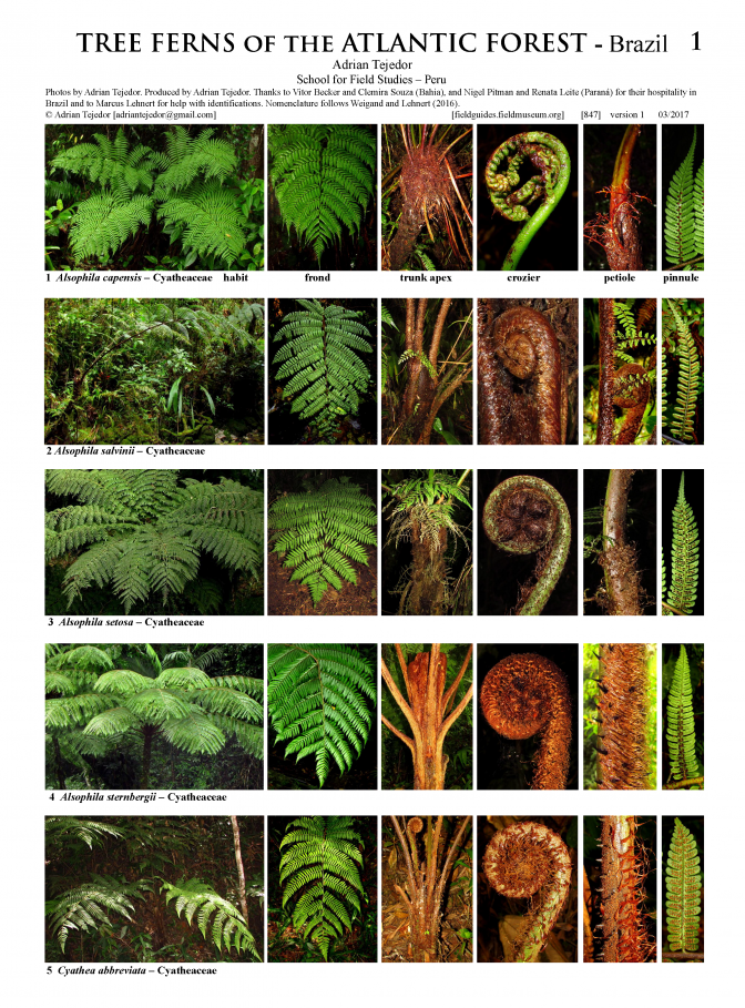 847_brazil_tree_ferns_of_the_atlantic_rainforest.pdf