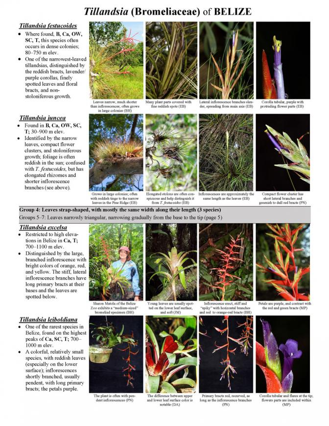 964_belize_tillandsia_bromeliaceae_of_belize.pdf